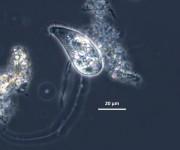 Trachellophyllum pusillum